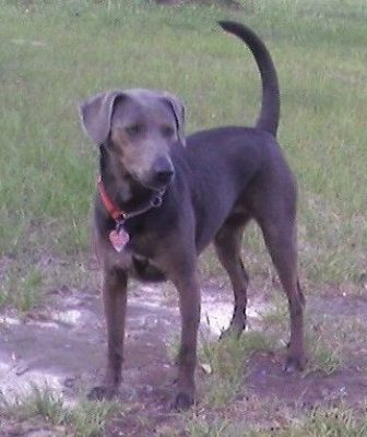 Blue Lacy,Fred Gipson,state dog,Texas, Greyhound,English Shepherd