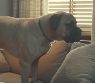 Bullmastiff,Commercial,TV,Febreeze,Ad