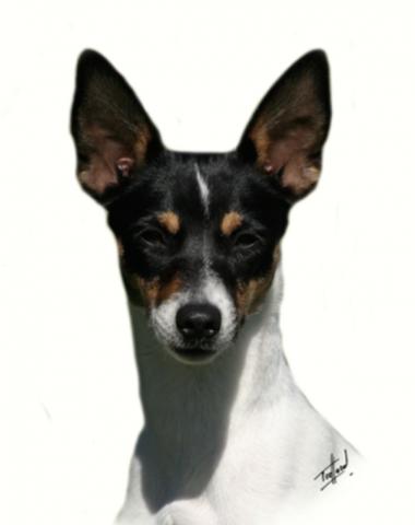 Tenterfield Terrier,history,George Woolnough,Peter Allen,Tenterfield Saddler,