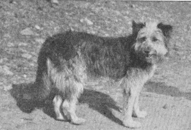Old Welsh Grey,Bearded Collie,Patagonian Sheepdog,Barbucho