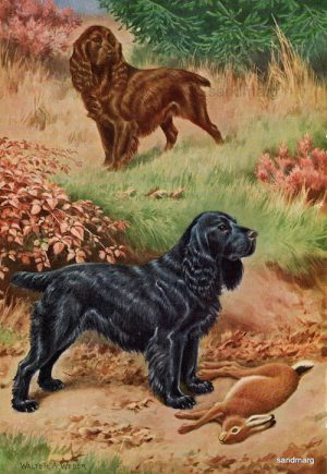 hunting dog,gun dog,field spaniel,AKC