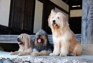 Sapsali,Sapsaree,Jindo,Korean Dosa Mastiff,Poong San)