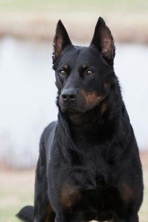 German Shepherd Dog,Bouvier, Briard,Belgium Sheepdog,Beauceron,Continental herder,tending,sheepdog,living fence