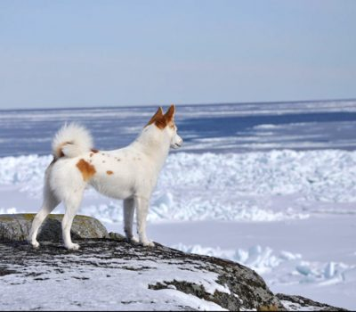 Norwegian Lundehund,Norrbottenspets,ears,structure