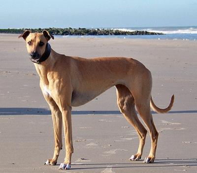 MagyarAgár,Hungarian Greyhound,