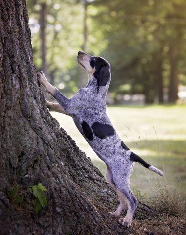 Bluetick Coonhound,Grand Bleu de Gascogne,color,coonhound,EnglishCoonhound