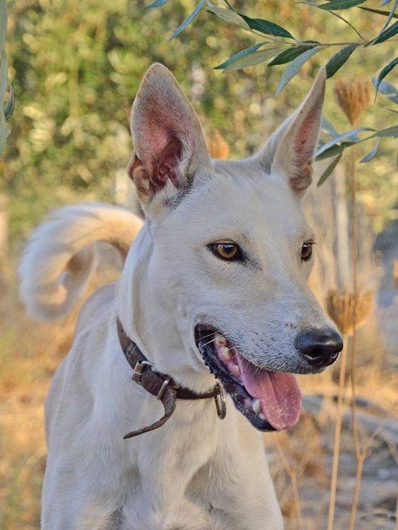 Primitive Dog,Sighthound,] Kritikos Ichnilatis,Cretin Hound,Kρητικός Iχνηλάτης,Greyhound,Saluki