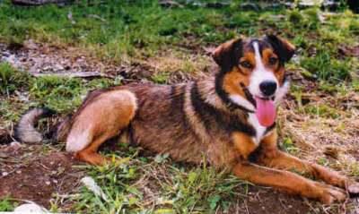 Savoy Shepherd,Tarentaise,Berger des Savois,Dog of the Duchy of Savoy,sheepdog,