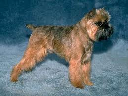 color, belge, affenpinscher, Brussels Griffon,