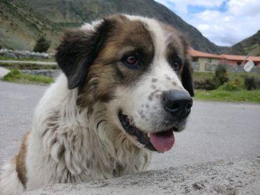 Mucuchies, Perro de los Peramos,Venezuela,National Dog,National Dog of Venezuela,Simon Bolivar