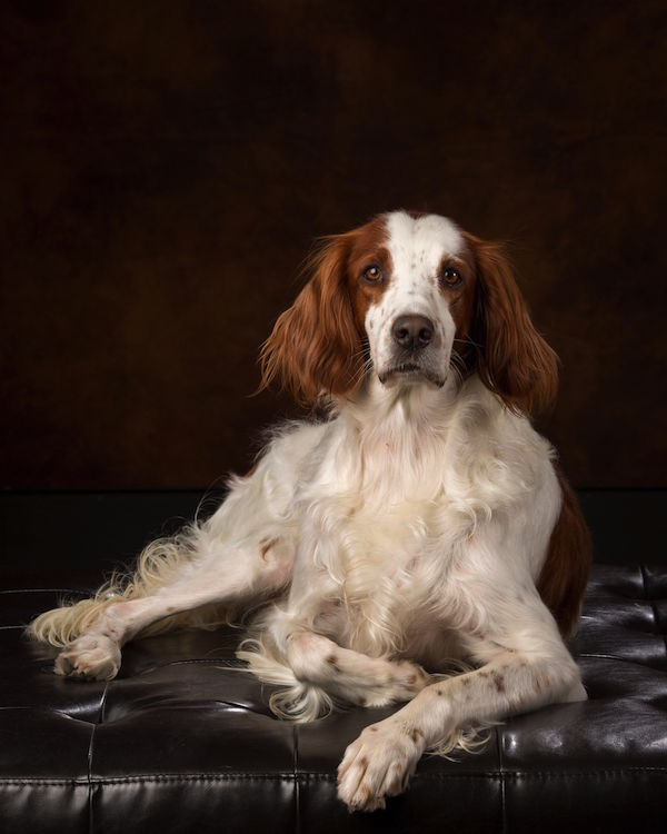 Irish Red and White Setter,Not Just Another Pretty Face #1, Maddie,hunt test, hunting dog,senior hunter title