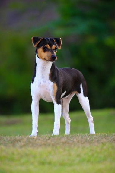 Little Fox Terrier of Sao Paulo,Fox Paulistinha,Brazilian Terrier, Miniature Pinscher,Chihuahua,Fila Brasileiro,Toy Fox Terrier,Jack Russell Terrier,history,