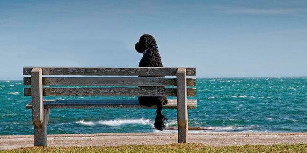 Portuguese Water Dog,cau de agua,