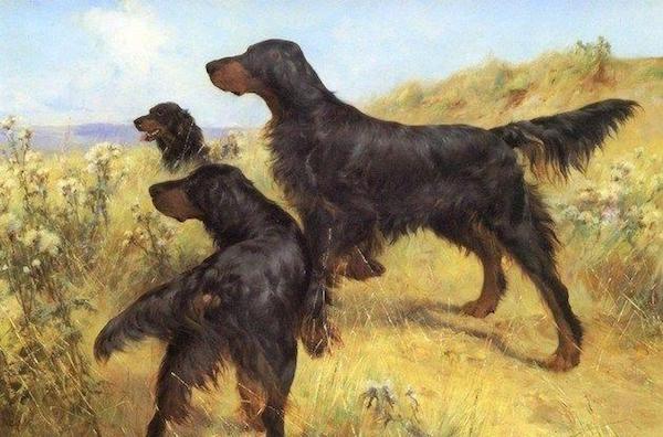 Gordon Setter,gun dog, hunting dog,field trial