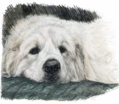 Great Pyrenees, LGD, Livestock Guardian Dog,