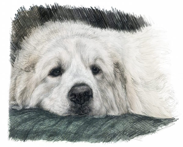 Great Pyrenees, LGD, Livestock Guardian Dog,