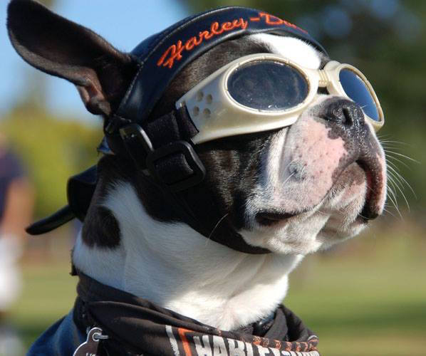 Boston Terrier,Chopper,Biker Dog,Harley Davidson