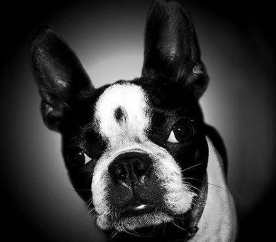 Boston Terrier,marking,coat,Haggarty Spot,