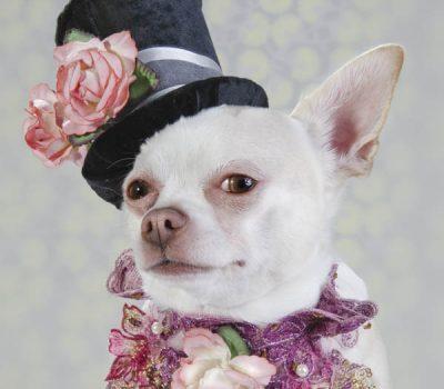 Chihuahua,Dog vogue,Sophie Gammond