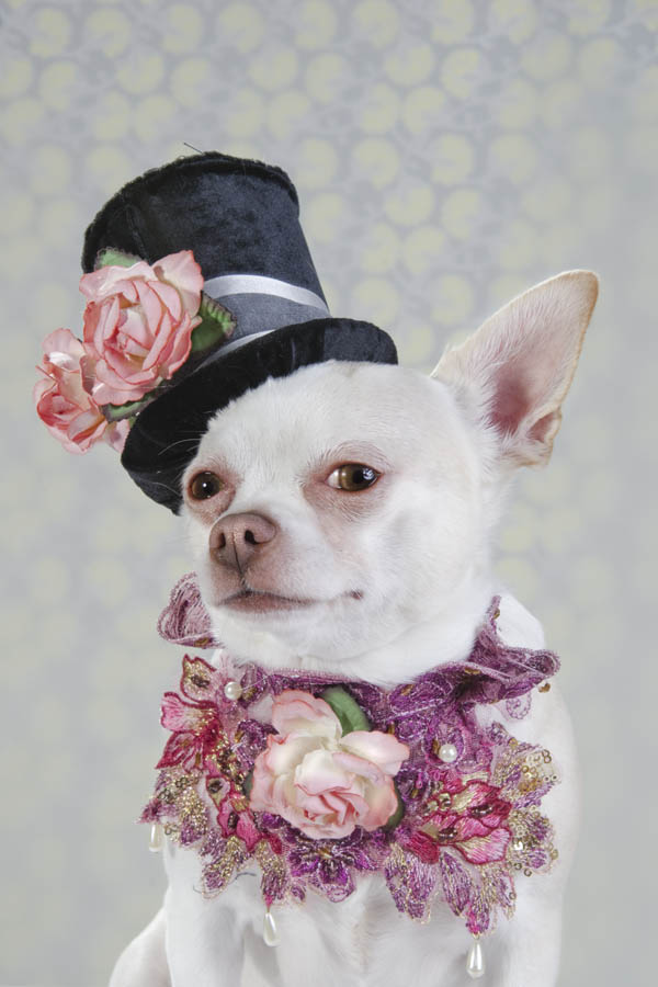 Chihuahua,Dog vogue,Sophie Gammond