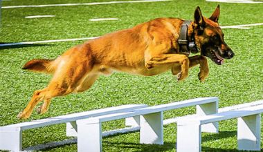 police dog,German Shepherd Dog, Belgian Malinois, Retriever,Labrador,Border Collie,Bloodhound