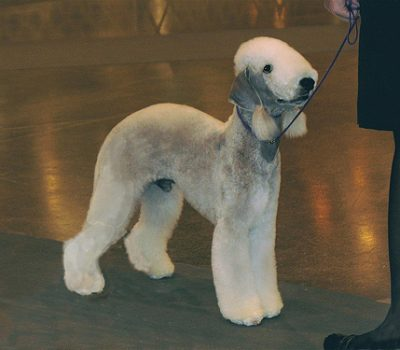 topline,back,structure,Bedlington Terrier,Whippet,Chesapeake Bay Retriever,Dr. Christine Zink,withers,loin, croup,dock