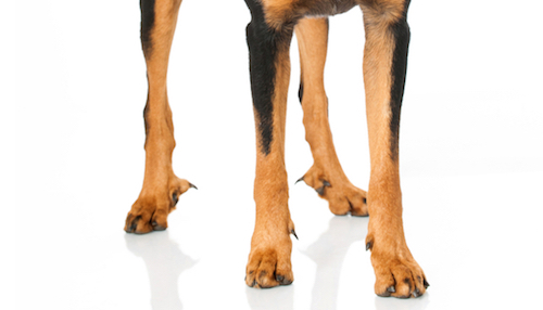 Dog Breeds With  Rear Dew Claws