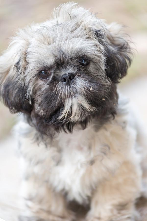 Shih Tzu,Chrysanthemum-Faced Dog,nickname,Shock-headed