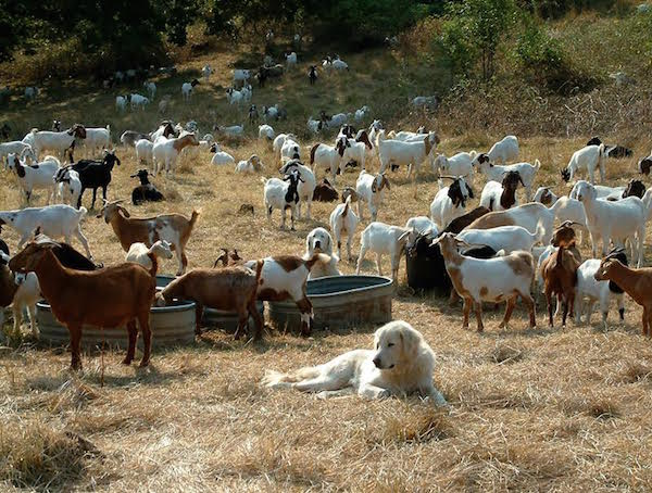 Akbash Dog, LGD, Livestock Guardian Dog, Diane Spisak