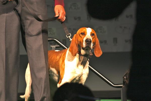 American English Coonhound,Virginia Hound,Foxhound,history,