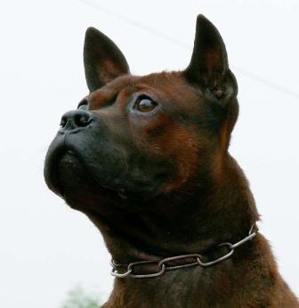 Chinese Chongqing Dog,Chuandong Dog, East Sichuan Hunting Dog, Bamboo Ratter, Mountain Dog, Mountain Dog, Hechuan Dog, Pak Tin Par Dog, Linshui Dog.