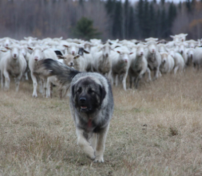 Sarplaninac, Illyrian Shepherd Dog, Macedonian Shepherd Dog, Шарпланинец and llyrian Sheepdog, LGD, Livestock Guardian Dog,
