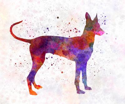 Cirneco dell'Etna,sighthound,hunting dog