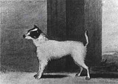 Jack Russell Terrier,John Russell,Terrier Parson Terrier,Russell Terrier, Trump