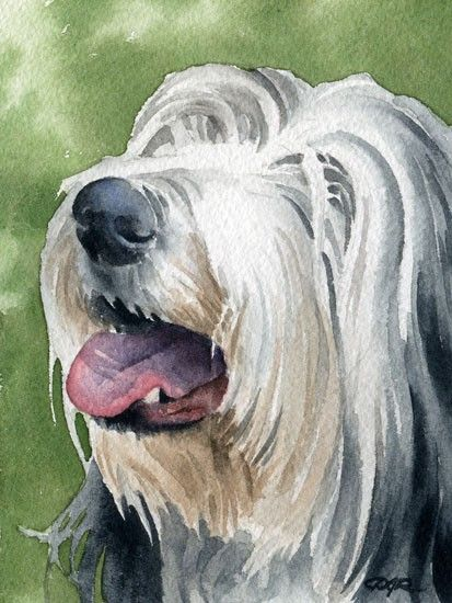 Bearded Collie,Berger Picard,Wirehaired Dachshund,Giant Schnauzer,tibetan terrier,Bouvier,No Shave November, beard, hair,facial furnishing,breed standard,