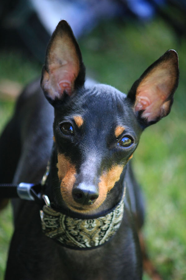 Not Just Another Pretty Face, Manchester Terrier, Toy Manchester Terrier, earthdog, AKC title, Master Earthdog