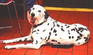 Dalmatian,Hooper,Firehouse Dog,