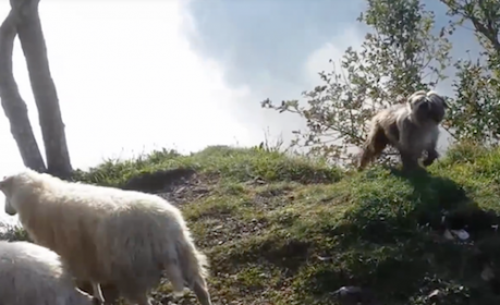 Pyrenean Shepherd,Pyr Shep,herding dog