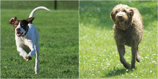 Pointer,gun dog,Wirehaired Pointing Griffon