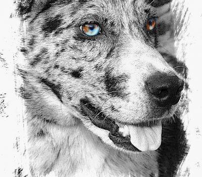 eyes,legend,Catahoula Leopard Dog,color,heterochromia,Australian Shepherd,Siberian Husky,David Bowie