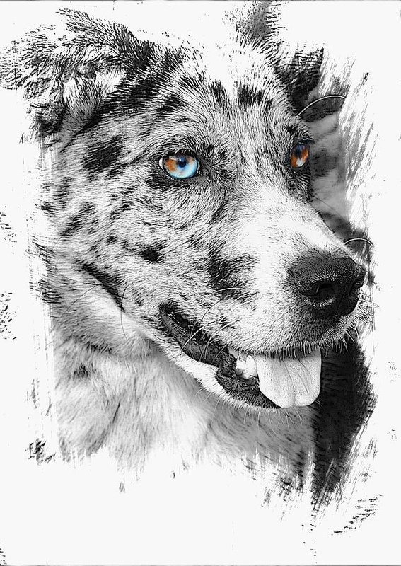 eyes,legend,Catahoula Leopard Dog,color,heterochromia,Australian Shepherd,Siberian Husky,David Bowie