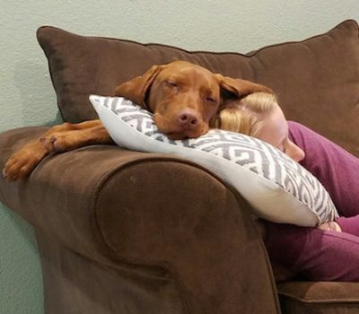 Vizsla,The Dog That Lives on Top of Your Head,velcro dog