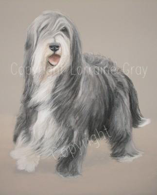 Bearded Collie,coat,color,fading,graying