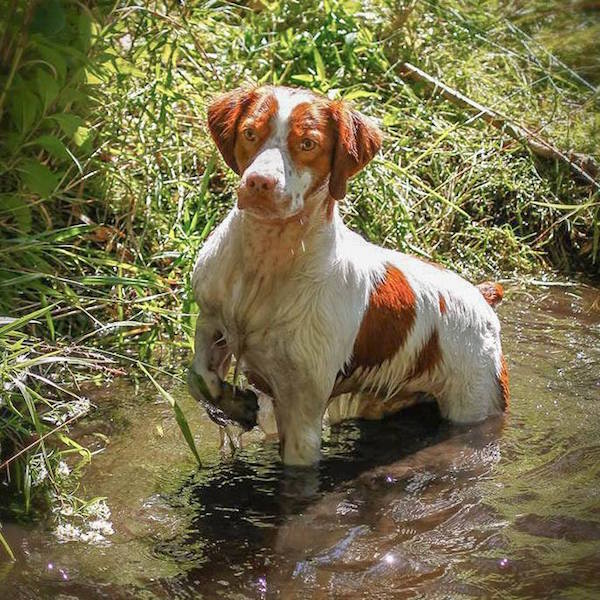 Dual Championship,title,English Setter, Basenji, German Wirehaired Pointer, German Shorthaired Pointer,Labrador Retriever, Brittany, Whippet