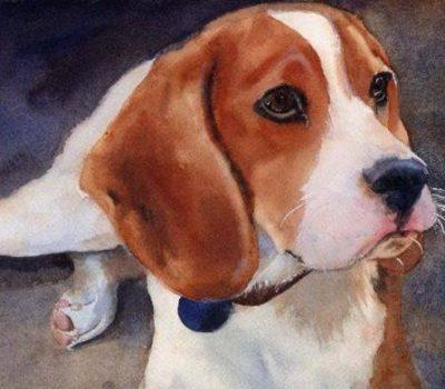 breeder, pocket beagle,rottweiler