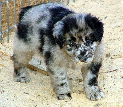 Australian Shepherd,Virginia Federation,herding dog,breeders