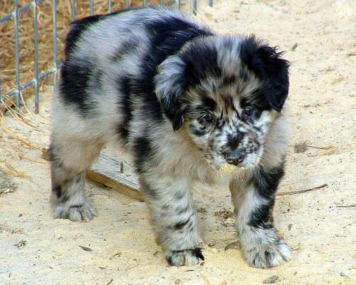 Australian Shepherd,Virginia Federation,herding dog,breeders