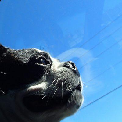 Boston Terrier,state dog,Massachusetts,Bessie Edna Colp
