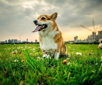 San Francisco Purebred Dog Rescue