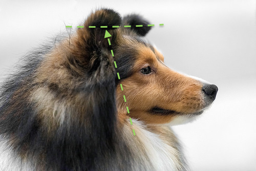 Shetland Sheepdog Breed Standard Give Me a Break...